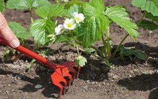 В какой почве клубника лучше растет?