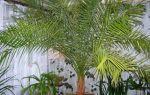 Подкормка для комнатной пальмы, правильный уход за пальмой