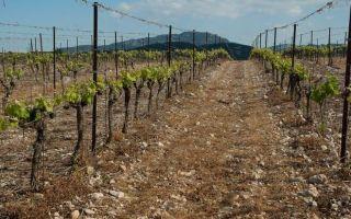 Почва для винограда, состав и кислотность, подготовка к посадке саженцев