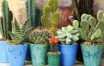 Подкормка кактусов и суккулентов в домашних условиях