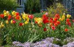 Подкормка тюльпанов, какие удобрения использовать