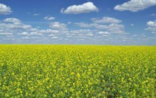 Когда и как сеять горчицу для улучшения почвы?
