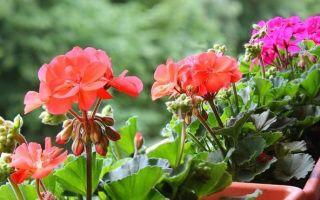 Удобрения для герани в домашних условиях, чтобы хорошо цвела