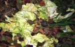Использование капустных листьев в качестве удобрения