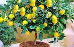 Подкормка и удобрения для комнатного лимона