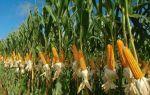 Подкормка кукурузы — особенности выращивания, советы огородникам