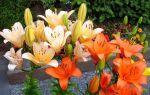 Чем подкормить лилии осенью, какие удобрения использовать?