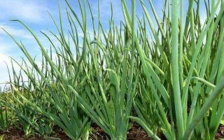 Удобрения для лука — весной и осенью
