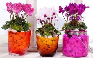 Подкормка и правильный уход за цикламеном — до и во время цветения