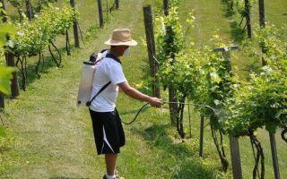 Опрыскивание винограда железным купоросом