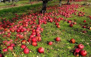 Можно ли использовать опавшие яблоки как удобрение?