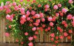 Домашние и садовые розы — удобрения и подкормки для обильного цветения
