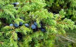 Удобрения для можжевельника — что использовать, как вносить