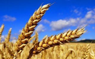 Подкормка озимой пшеницы — осенью и весной