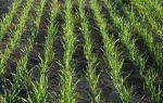 Рожь как сидерат, повышаем плодородие почвы