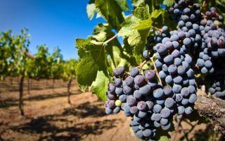 Подкормка винограда: перед посадкой и после сбора урожая