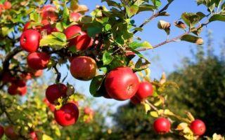 Чем подкормить яблоню, какие удобрения использовать?