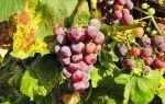 Защита винограда от вредителей и болезней, опрыскивание и удобрение
