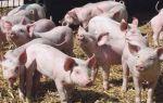 Свиной навоз — можно ли использовать в качестве удобрения?