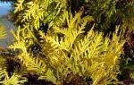 Удобрение для туи осенью, чем подкармливать?