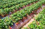 Чем подкормить клубнику весной, какие удобрения использовать?