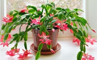 Подкормка декабриста для цветения