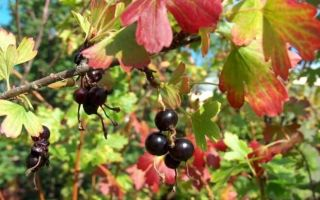 Чем подкормить смородину осенью, как подготовить к зиме?