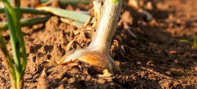 Какую почву любит лук?