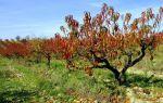Удобрения для персика осенью, особенности ухода