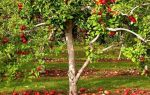 Чем подкормить яблоню осенью?