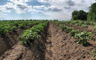 Почва под картофель, какая лучше подходит, как правильно подготовить
