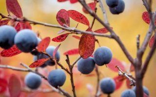 Чем подкормить садовую голубику осенью?