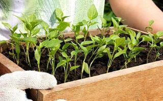 Подкормка для рассады, виды и особенности удобрений