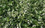 Сидерат масличная редька  — когда сеять и когда убирать?