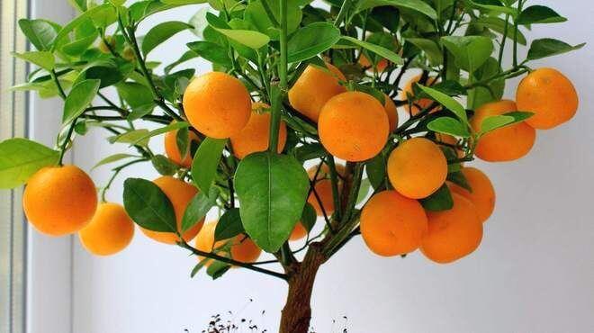 apelsinovoe-derevo-660x370
