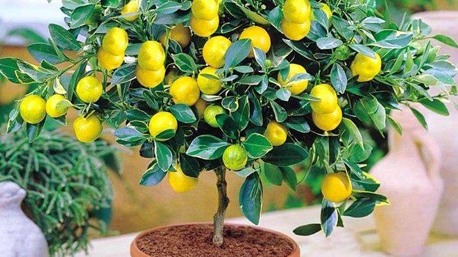 Как и чем удобрять лимоны дома  инструкция по внесению подкормок на каждый месяц