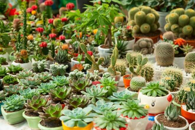 mnogo-malenkih-kaktusov-660x441