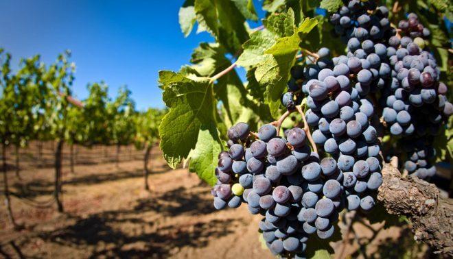 vinograd-e1513963669686-660x378