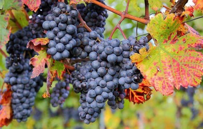 vinograd-osenyu-660x420