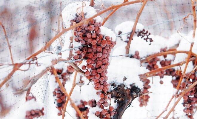 vinograd-v-sibiri-660x399