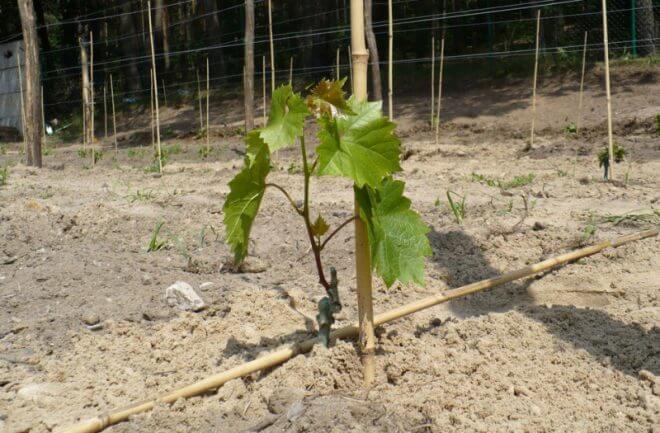 vinograd-vesnoj-660x433