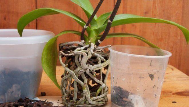 peresadka-falenopsisa-660x377