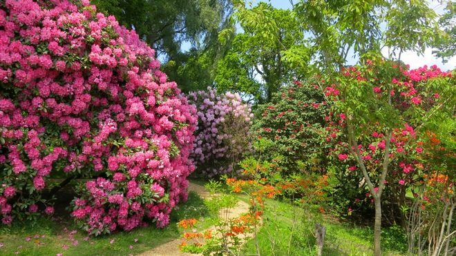 rhododendrons-660x371